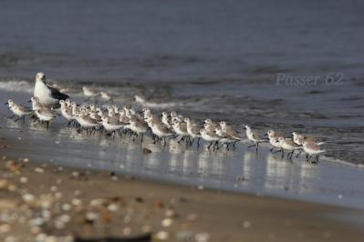 波打ち際のミユビシギ