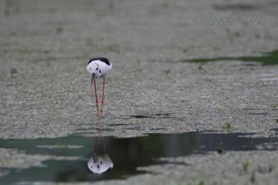 セイタカシギ(水鏡)