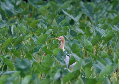 アマサギ芋畑の中