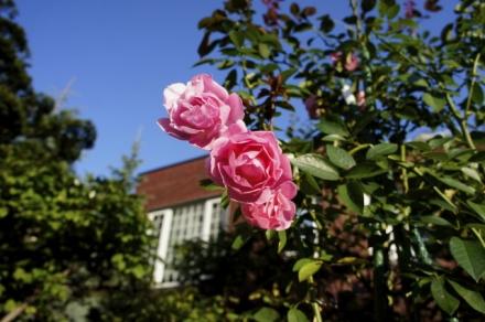 roze 0