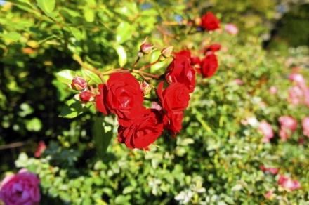rose 1109