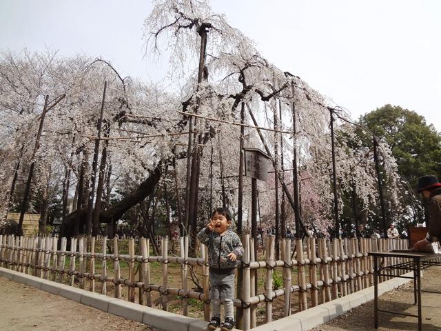 伏姫桜の前でお写真