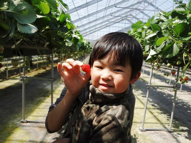 イチゴを採ってにんまり