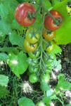 色付き始めたミニトマト