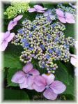 大輪の額紫陽花