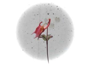 深山オダマキ花