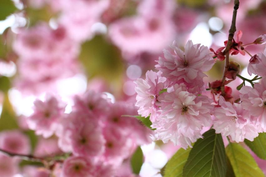 130528-庭&八重桜049