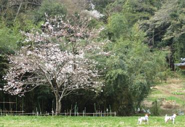 2013_3_23_舞岡公園花見1_1