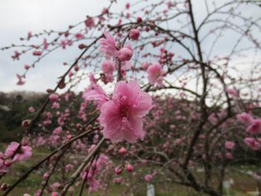 2013_3_23_舞岡公園花見5
