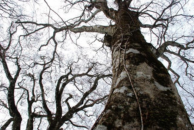 巨木観察1