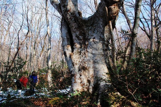 巨木観察5
