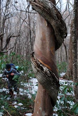 巨木観察 6