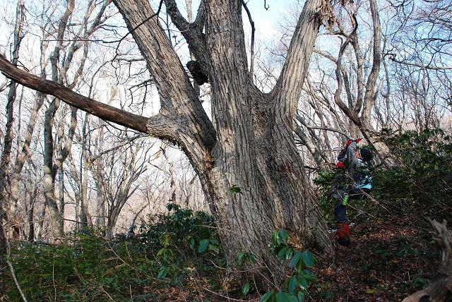 巨木観察 7