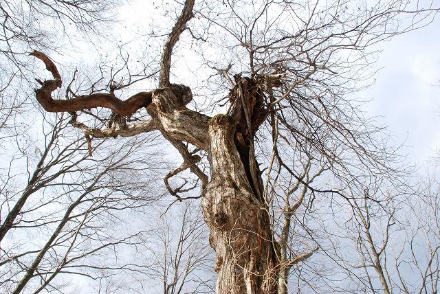 巨木観察 13
