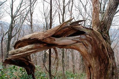 巨木観察 20