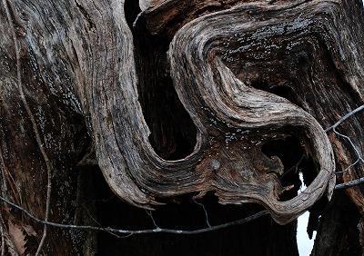 巨木観察 26