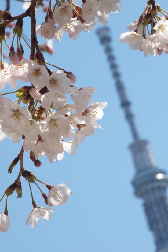 【PhotoTable】桜と東京スカイツリー