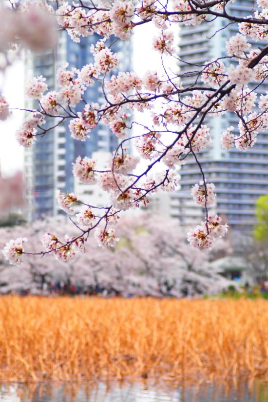 【PhotoTable】桜とビル(東京の桜を撮る)