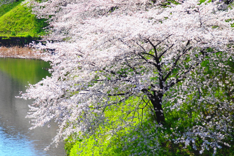 【PhotoTable】6月ですが(東京の桜を撮る)