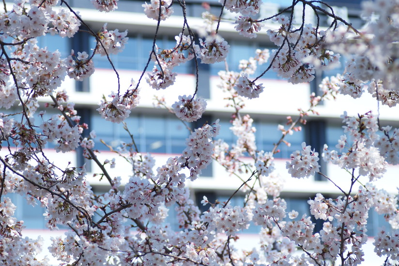 【PhotoTable】東京の桜(東京の桜を撮る)