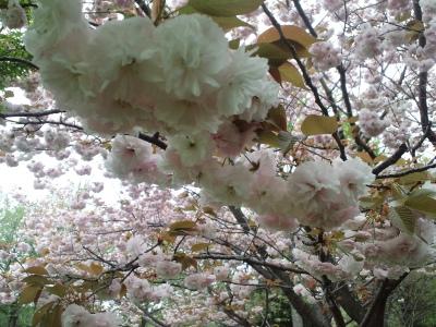 しつこいけど八重桜