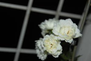 2013.03.29木香ばら 白2