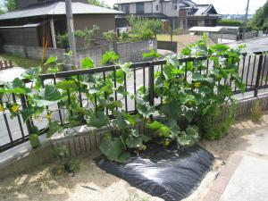 きゅうり畑2013