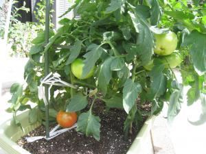 大玉トマト2013