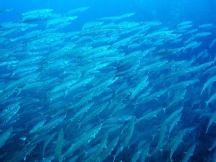 タオ島 ダイビング 魚 シェベロンバラクーダ群れ