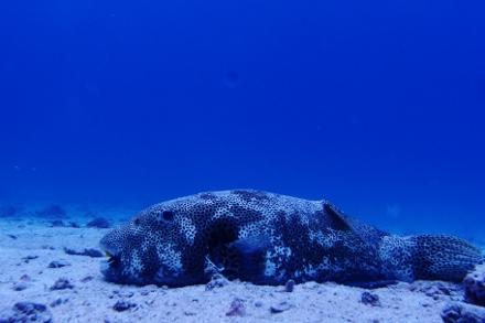 タオ島 ダイビング 砂地 モヨウフグ