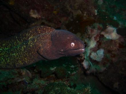 タオ島 ダイビング 魚 サビウツボ