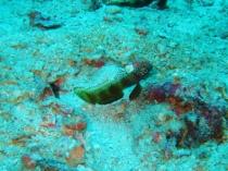 タイ タオ島 ダイビング 魚 メタリックシュリンプゴビー