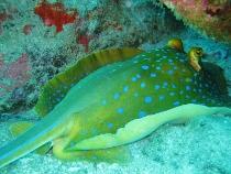 タイ タオ島 ダイビング 魚 アオマダラエイ