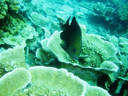 タイ タオ島 ダイビング スズメダイモドキ