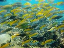 タイ タオ島 ダイビング ヒメアイゴ
