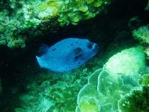 タイ タオ島 ダイビング コクテンフグ