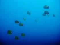 タイ タオ島 魚 ツキチョウチョウウオ 群れ