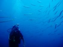 タイ タオ島 魚 ダイバー タイワンカマス