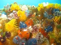 タイ タオ島 魚 イバラカンザシ