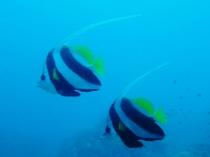 タイ タオ島 魚 ハタタテダイ