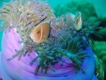タイ タオ島 魚 ハナビラクマノミ