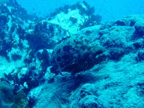 タイ タオ島 魚 アカマダラハタ
