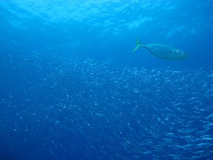 タイ タオ島 ダイビング キビナゴ 捕食