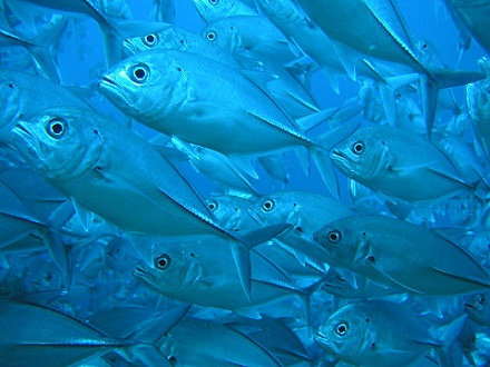 タイ タオ島 ダイビング ギンガメアジ