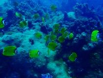 タイ タオ島 魚 ツキチョウチョウウオ玉
