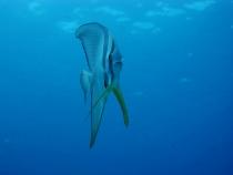 タイ タオ島 魚 ツバメウオ