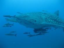 タオ島 ダイビング ジンベイザメ