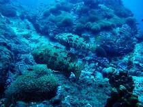 タオ島 ダイビング 魚 アカマダラハタ