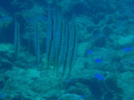 タオ島 ダイビング ヒンウォン ヨロイウオ