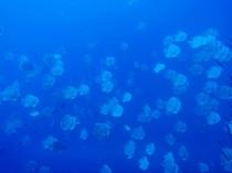 タイ タオ島 ダイビング 魚 ツバメウオ群れ